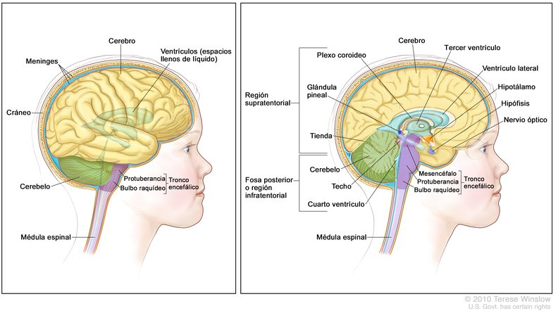 Brain, Lateral And Medial, Child, Anatomy - Spanish: Image Details ...