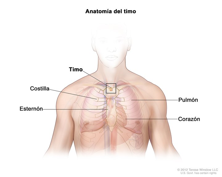 Anatomía del Timo (Thymus Gland, Adult, Anatomy): Image Details ...