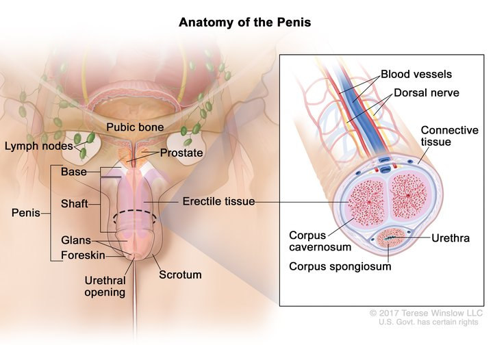 Penile Anatomy Detailed Image Details Nci Visuals Online