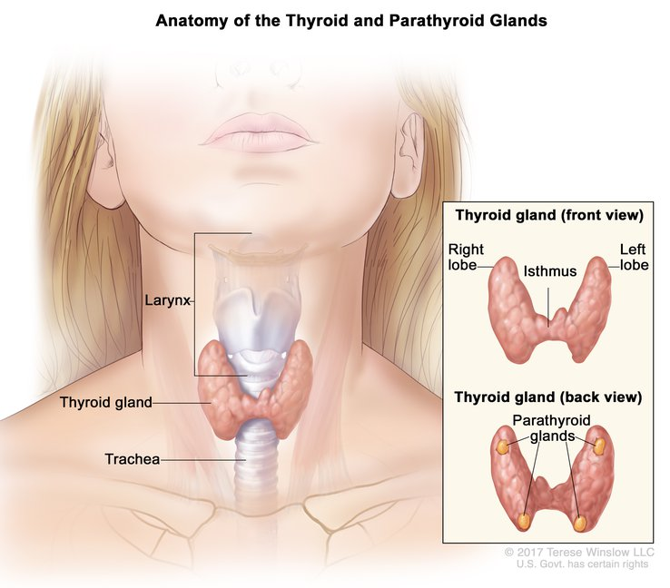 Thyroid And Parathyroid Gland Child Anatomy Image Details Nci