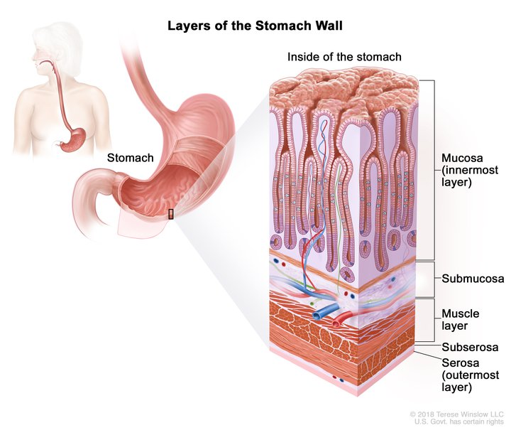 Layers Of The Stomach Wall Image Details Nci Visuals Online