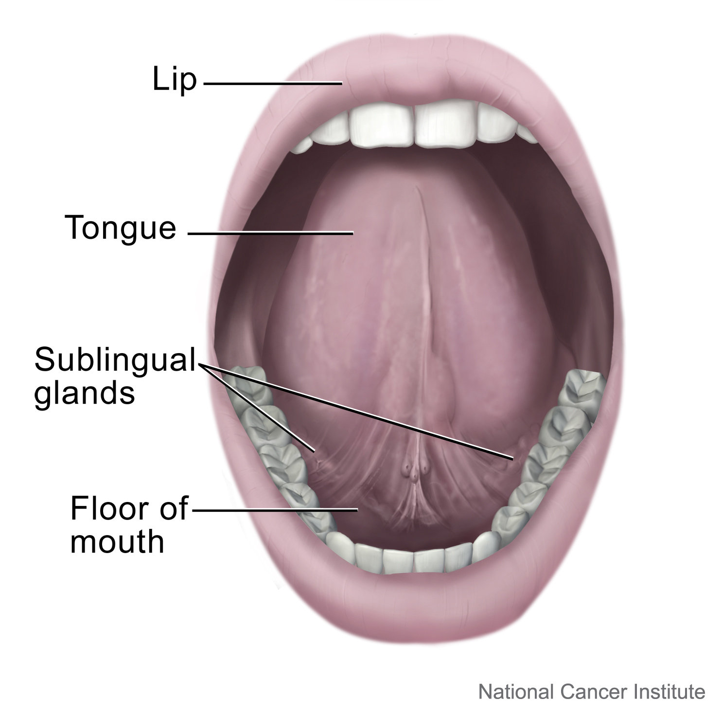 Mouth and Tongue: Image Details - NCI Visuals Online
