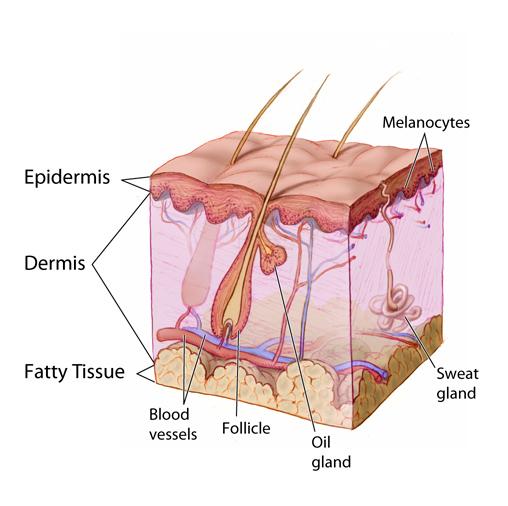 Skin Anatomy Image Details Nci Visuals Online