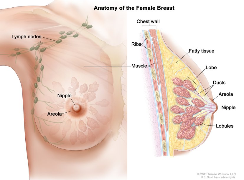 Breast Female Anatomy Image Details Nci Visuals Online