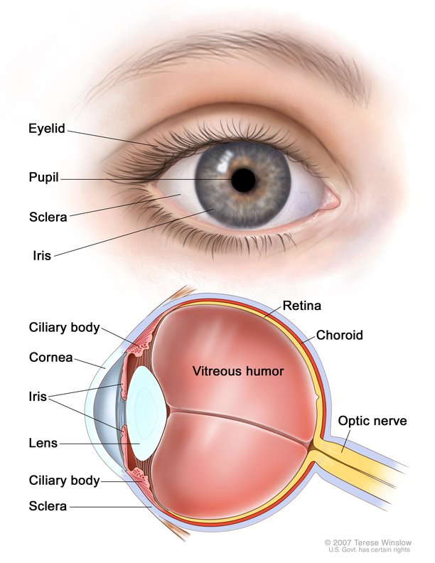 Eye Anatomy: Image Details - NCI Visuals Online