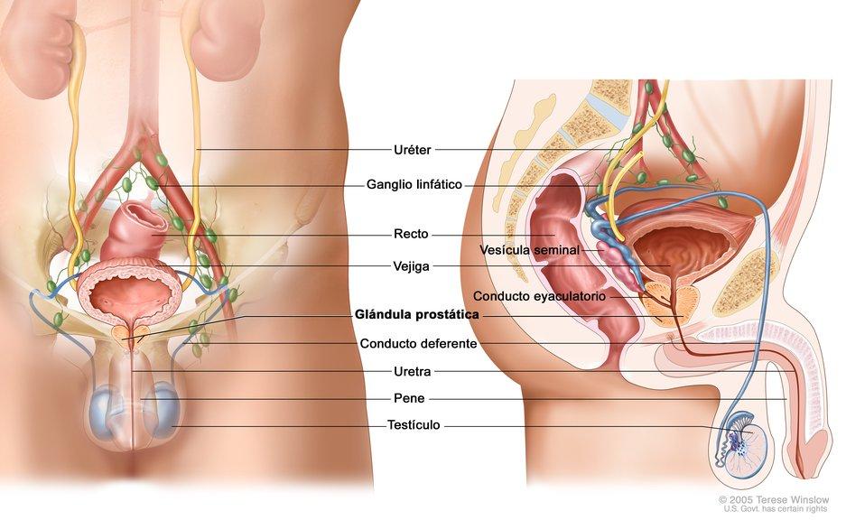 Anatomía del Sistema Reproductor y el Sistema Urinario Masculino ...