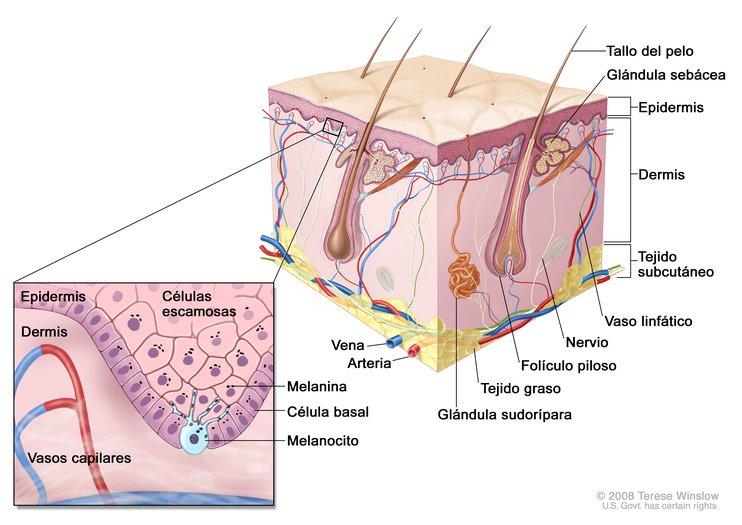 Anatomía de la Piel con Melanocitos (Skin With Melanocyte Anatomy ...