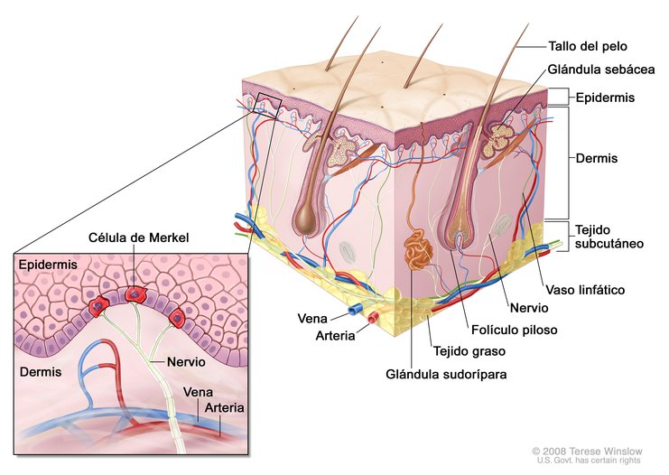 Anatomía de la Piel con Células de Merkel (Skin, Merkel Cell ...