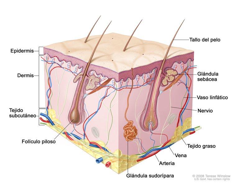 Anatomía de la Piel (Skin Anatomy): Image Details - NCI Visuals Online