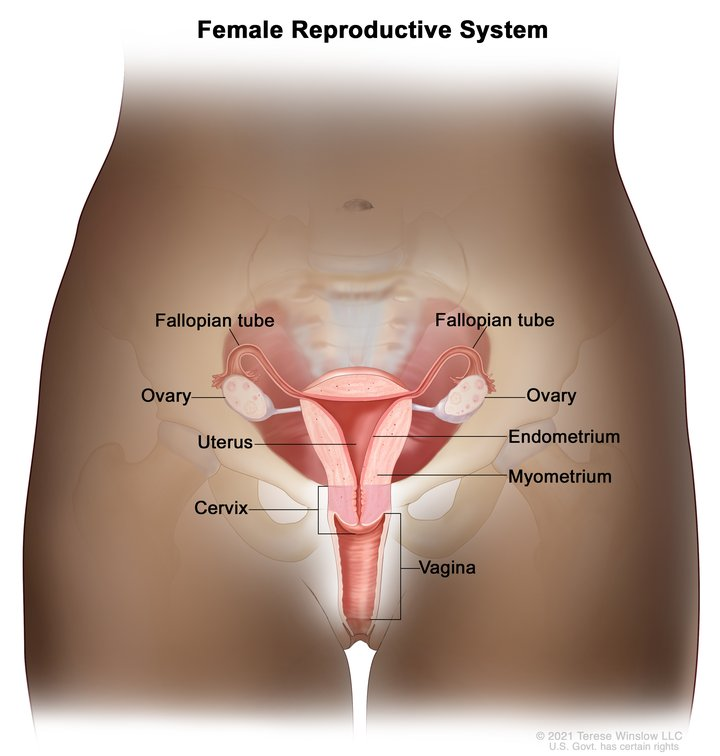 Reproductive System Female Anatomy Image Details Nci Visuals Online
