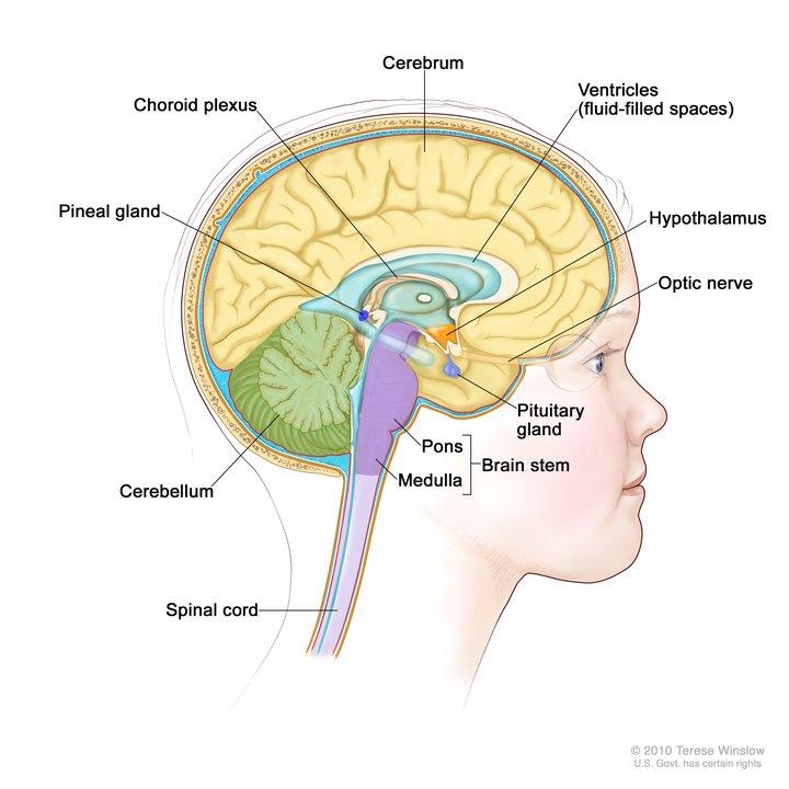 Brain Medial Child Anatomy Image Details Nci Visuals Online