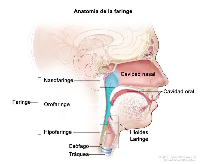 Anatomía de la Faringe (Pharynx Anatomy): Image Details - NCI ...