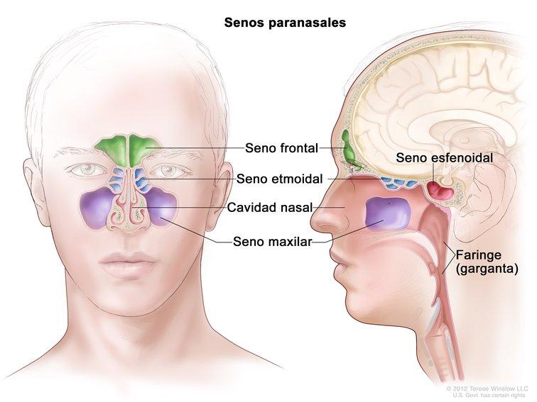 Anatomía de los Senos Paranasales (Paranasal Sinus Anatomy): Image ...