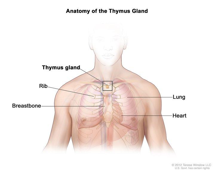 Thymus Gland, Adult, Anatomy: Image Details - NCI Visuals Online