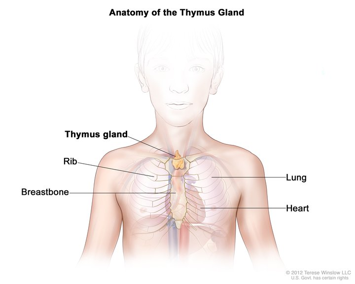 Thymus Gland, Child, Anatomy: Image Details - NCI Visuals Online