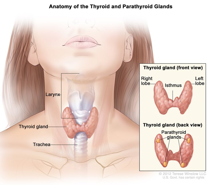 Thyroid And Parathyroid Gland Anatomy Image Details Nci Visuals