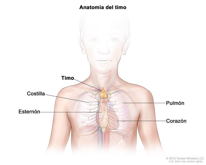 Anatomía del Timo (Thymus Gland, Child, Anatomy): Image Details ...