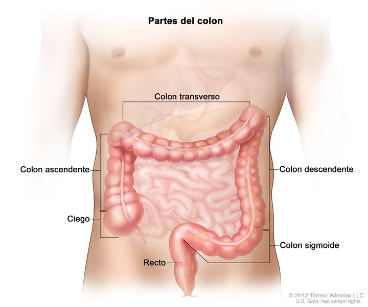 Colon Anatomy Spanish Image Details Nci Visuals Online