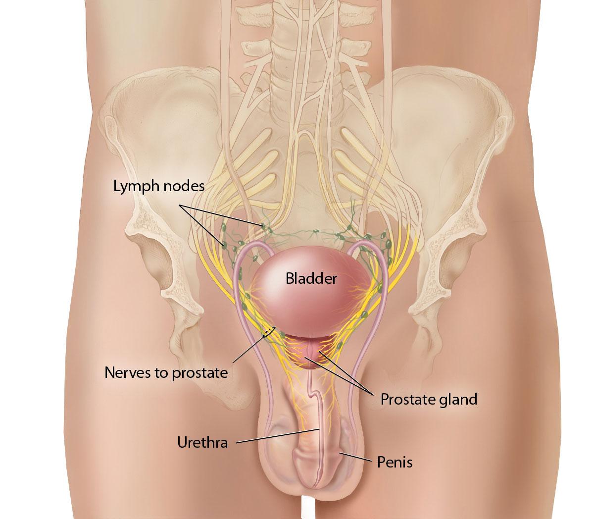 Male Anatomy Prostate Gland Gallery Human Body Anatomy