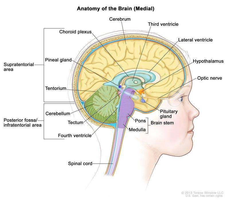 Brain Medial Child Anatomy Hp Image Details Nci Visuals Online