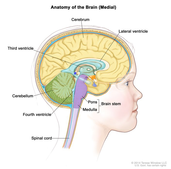 Brain Medial Child Anatomy Ependymoma Image Details Nci