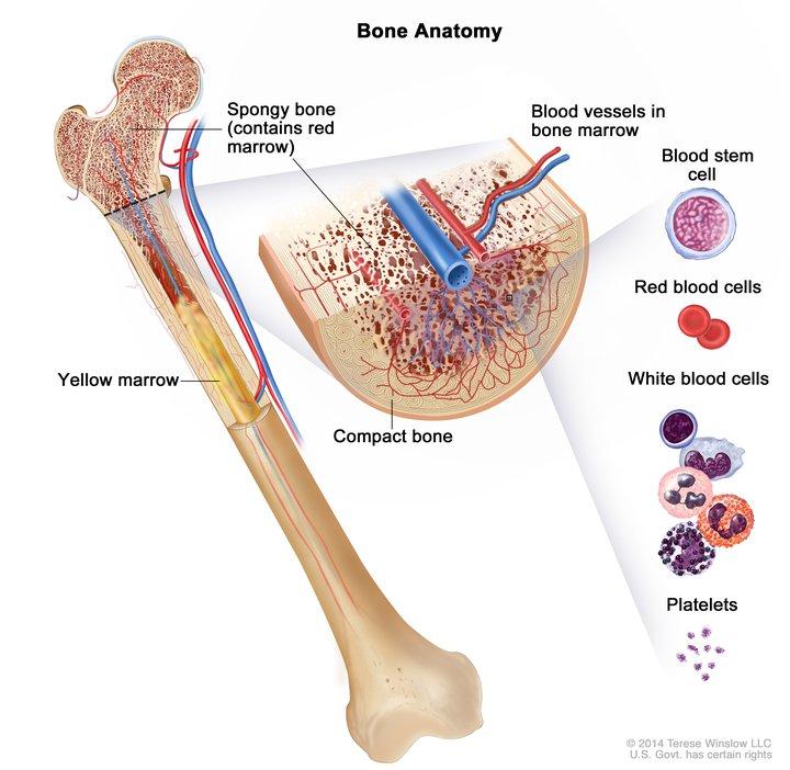 Bone Anatomy: Image Details - NCI Visuals Online