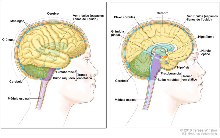 Brain, Lateral And Medial, Adult, Anatomy - Spanish: Image Details ...